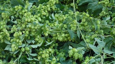 Hops: Flower Power